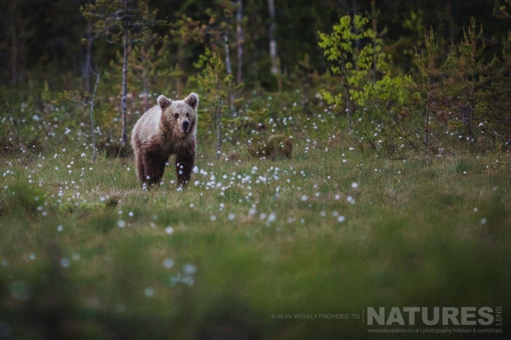 One of the young Finnish Bears approaches through the cotton grass photographed during the NaturesLens Wild Brown Bears of Finland Photography Holiday