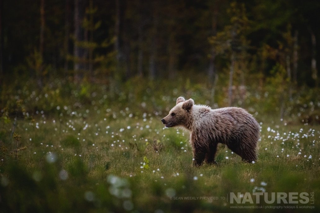 One of the young Finnish Bears stood amongst the cotton grass photographed during the NaturesLens Wild Brown Bears of Finland Photography Holiday