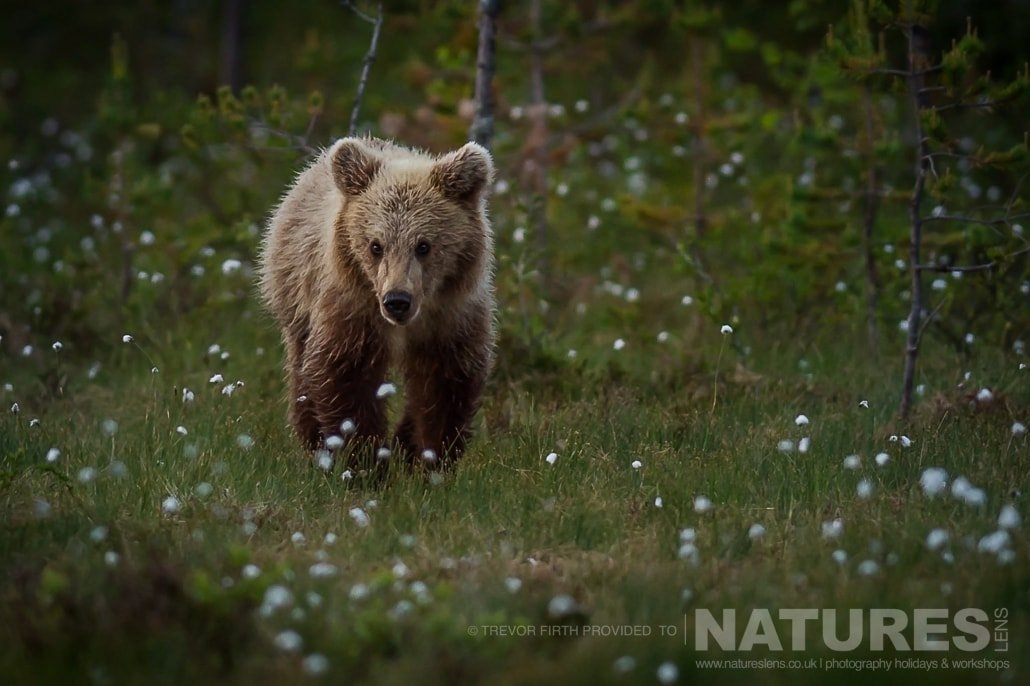One of the young Wild Brown Bears approaches one of the photogaphy hides captured by NaturesLens guest Trevor during the Wild Brown Bears of Finland Photography Holiday