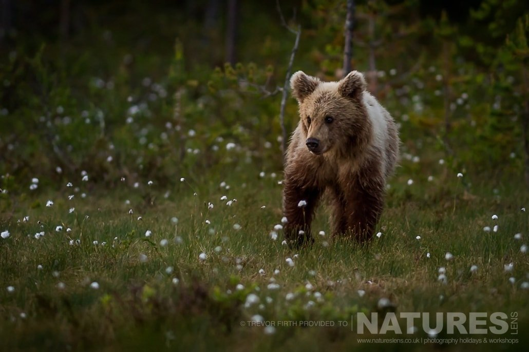 One of the young Wild Brown Bears looks around cautiously captured by NaturesLens guest Trevor during the Wild Brown Bears of Finland Photography Holiday