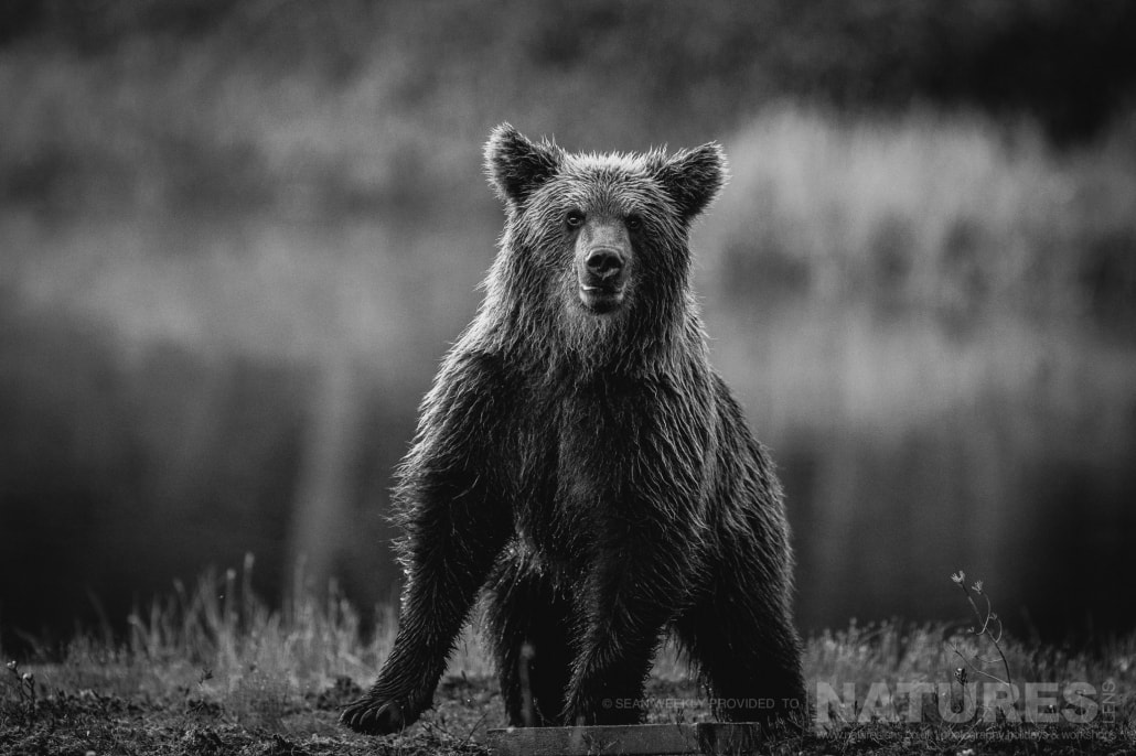 One of the young brown bears checks out the area before approaching for food captured during the NaturesLens Wild Brown Bears of Finland Photography Holiday
