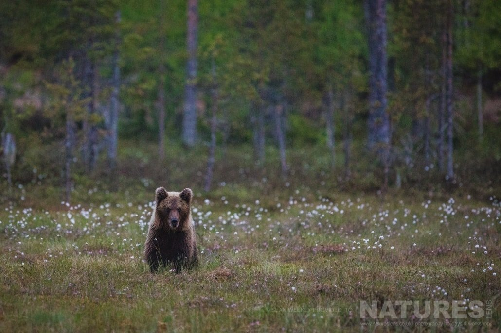 One of the young brown bears checks out the area before approaching for food photographed during the NaturesLens Wild Brown Bears of Finland Photography Holiday