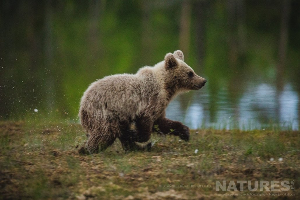 Startled by other wildlife, one of the young Brown Bears runs back to the safety of the Taiga Forest