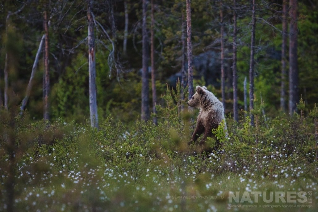 Stoof on it's hind legs, a juvenile male Brown Bear on the edge of a clearing in the Taiga Forest