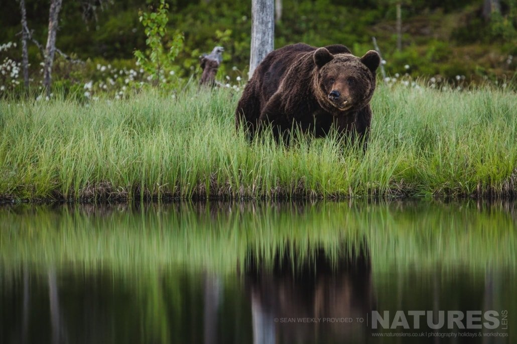 The largest of the male Brown Bear encountered by our photography group stood on the bank of one of the lakes located in the Taiga Forest