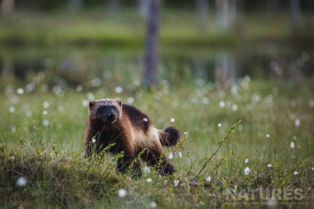 The wolverine are regular visitors to the hides located in the area photographed during the NaturesLens Wild Brown Bears of Finland Photography Holiday