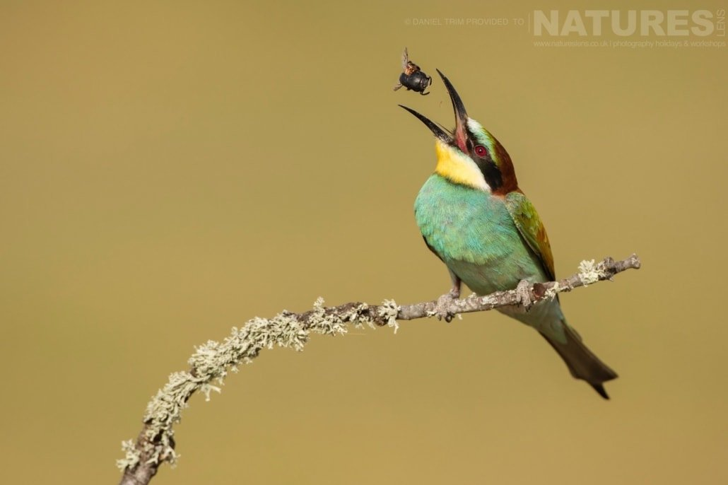 Tossing an insect, this European Bee eater demonstrates it's agility image captured during a NaturesLens Spanish Bird Photography Holiday