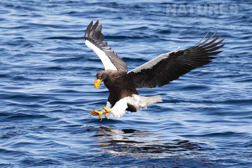 A Steller's Sea Eagle makes a final adjustment to pluck a fish from the icy seas photographed during the 2017 NaturesLens Japanese Winter Wildlife Photography Holiday