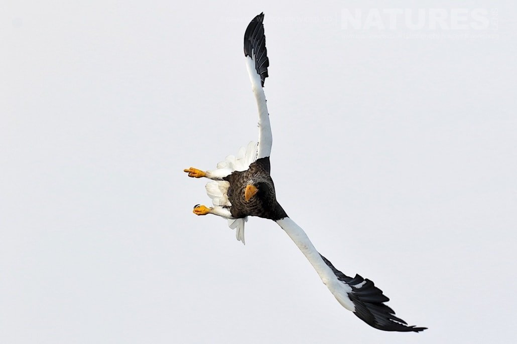 A Steller's Sea Eagle twists in the air to dive towards the icy seas photographed during the 2017 NaturesLens Japanese Winter Wildlife Photography Holiday