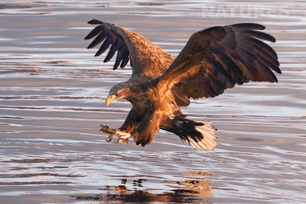 A White Tailed Sea Eagle lines itself up to pluck a fish from the icy seas photographed during the 2017 NaturesLens Japanese Winter Wildlife Photography Holiday