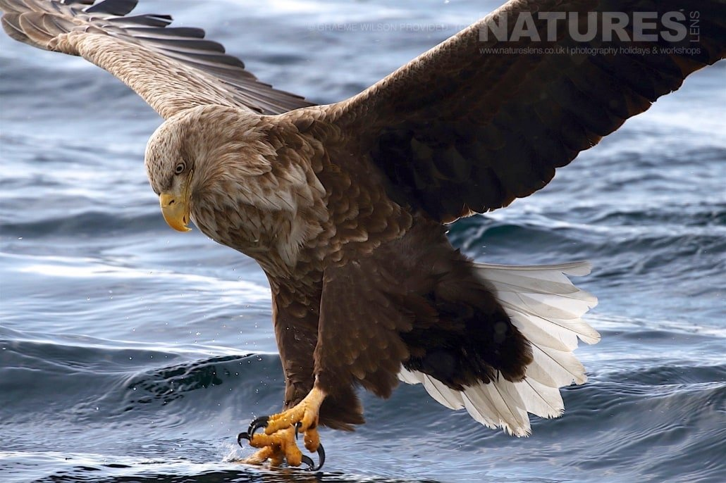 A White Tailed Sea Eagle makes a final adjustment to pluck a fish from the icy seas photographed during the 2017 NaturesLens Japanese Winter Wildlife Photography Holiday
