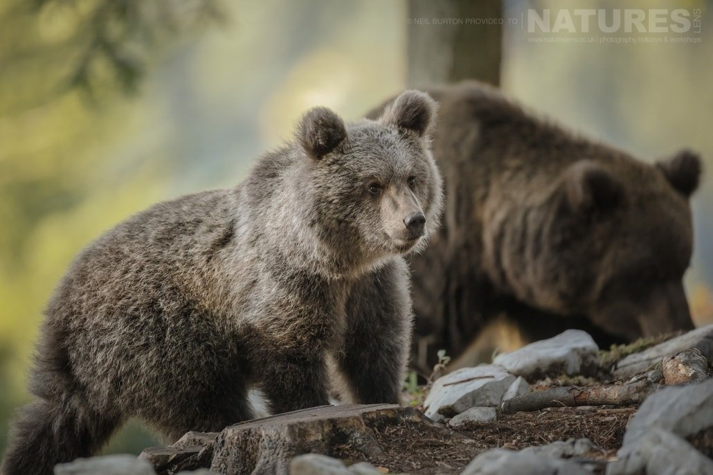 A bear cub and its mother forage for food within the Slovenian Forests typical of the type of image that you may capture on the NaturesLens Slovenian Bears of the Forest Photography Holiday