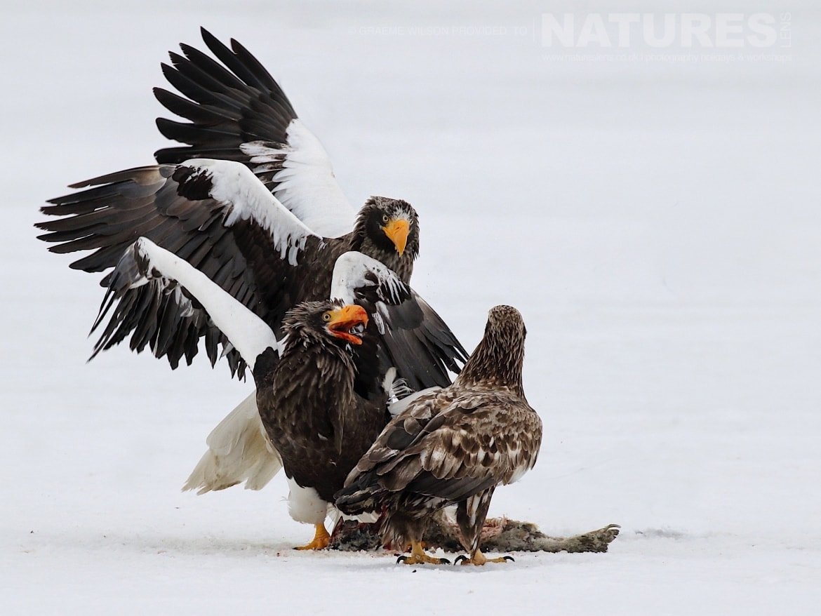 A bloody squabble, breaks out over fish, between several of the Steller's & White Tailed Sea Eagles photographed during the 2017 NaturesLens Japanese Winter Wildlife Photography Holiday