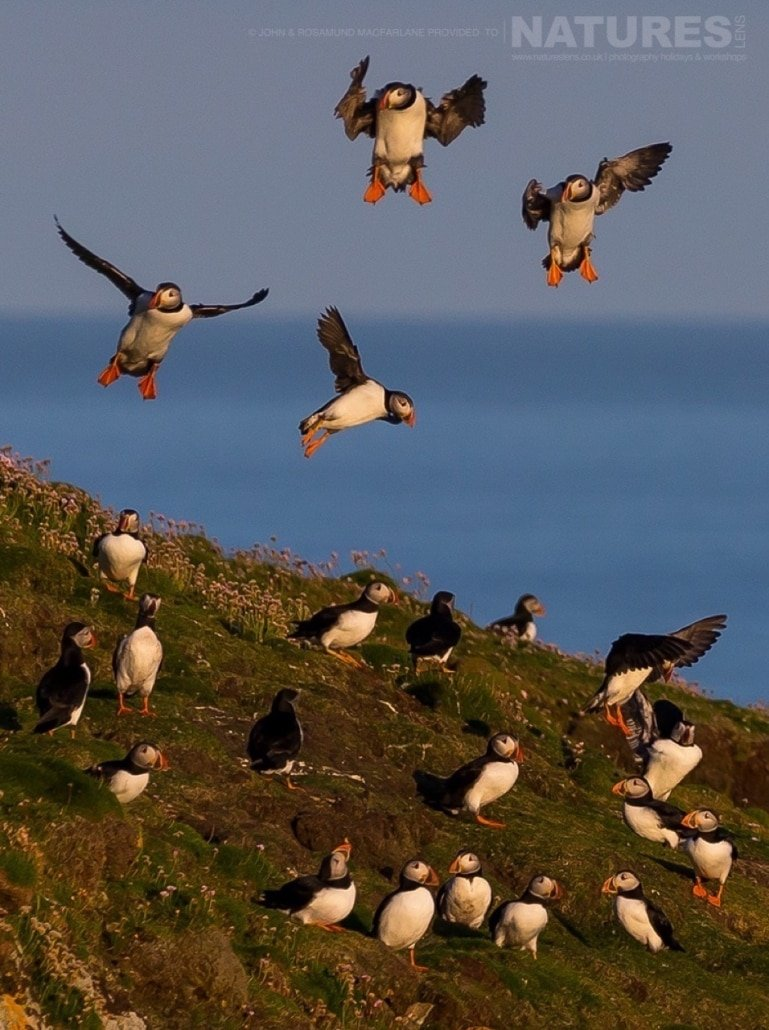 A large group also known as a circus of the Shetland Puffins photographed during the NaturesLens Puffins of Fair isle Photography Holiday