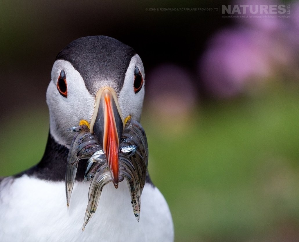 A mouthful of sand eels, one of the Shetland Puffins photographed during the NaturesLens Puffins of Fair isle Photography Holiday