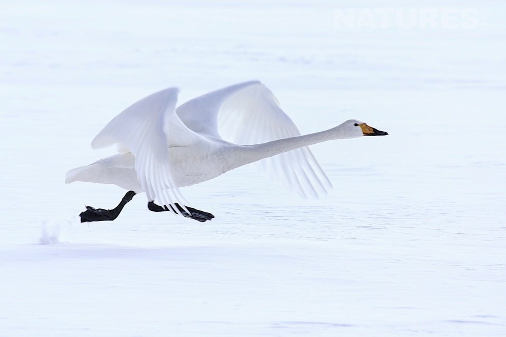 A whooper swan races across the ice to take to the skies photographed during the 2017 NaturesLens Japanese Winter Wildlife Photography Holiday