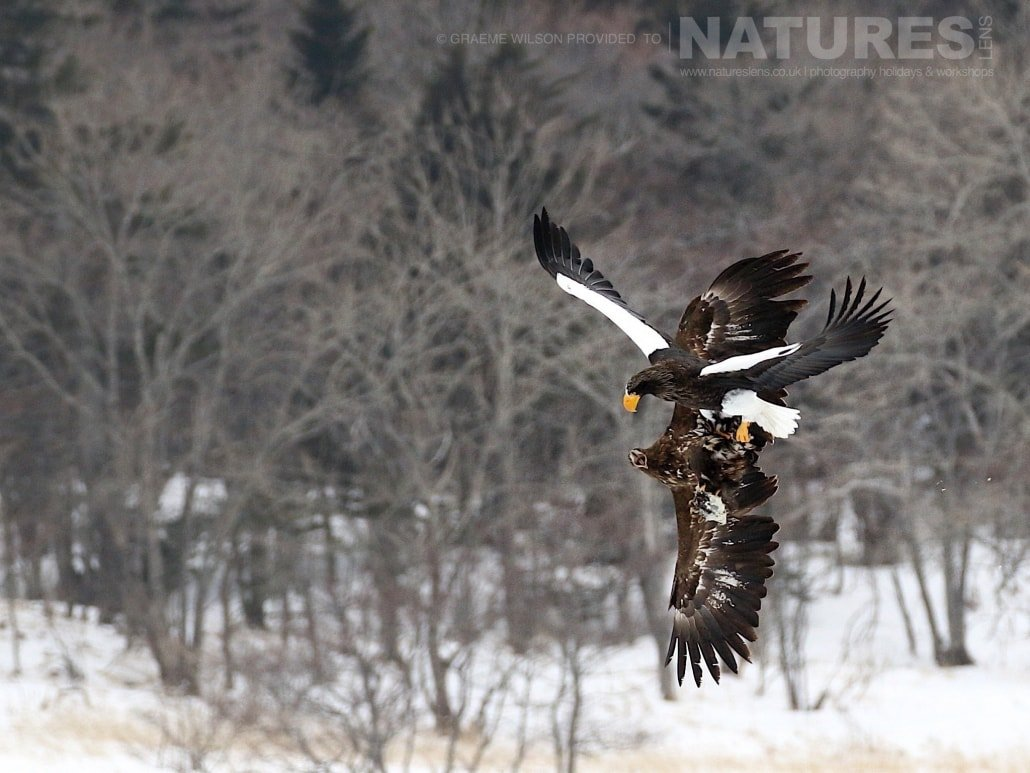An airbourne squabble, over a frozen lake, between a Steller's Sea Eagle & a White Tailed Sea Eagle photographed during the 2017 NaturesLens Japanese Winter Wildlife Photography Holiday