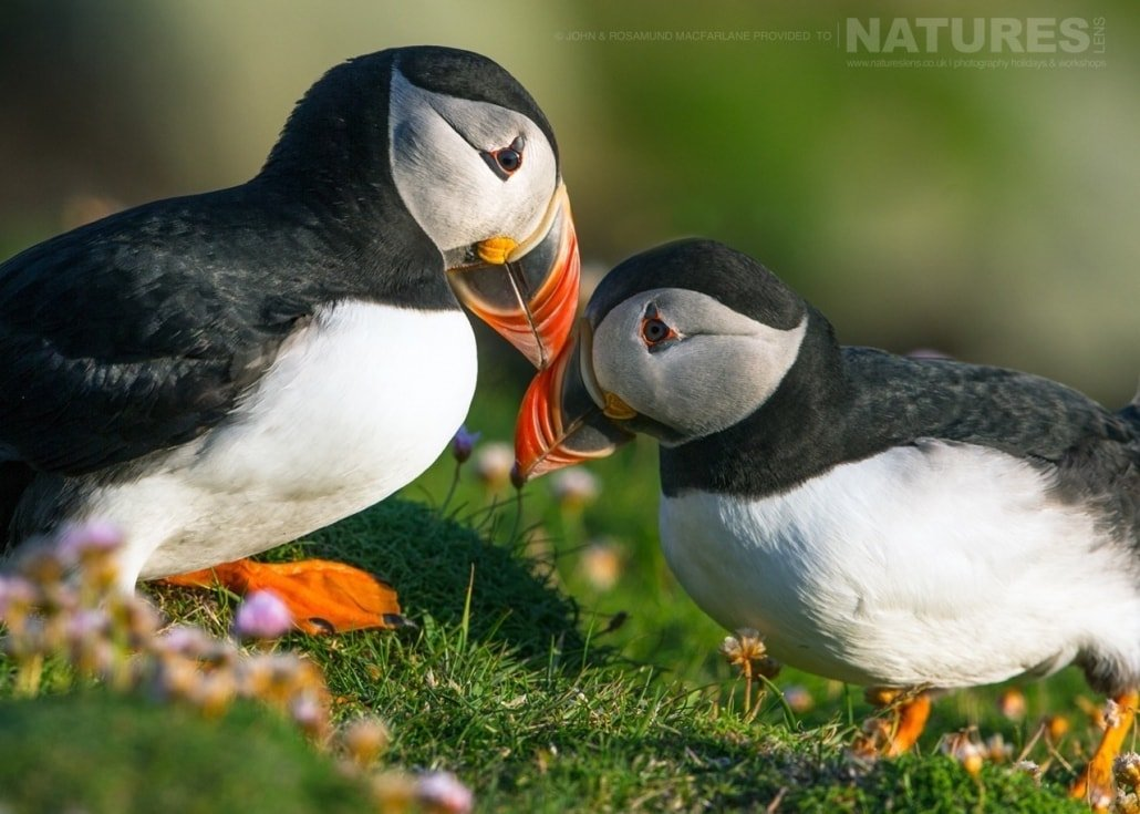 Courting behavior seen between a pair of the Shetland Puffins photographed during the NaturesLens Puffins of Fair isle Photography Holiday