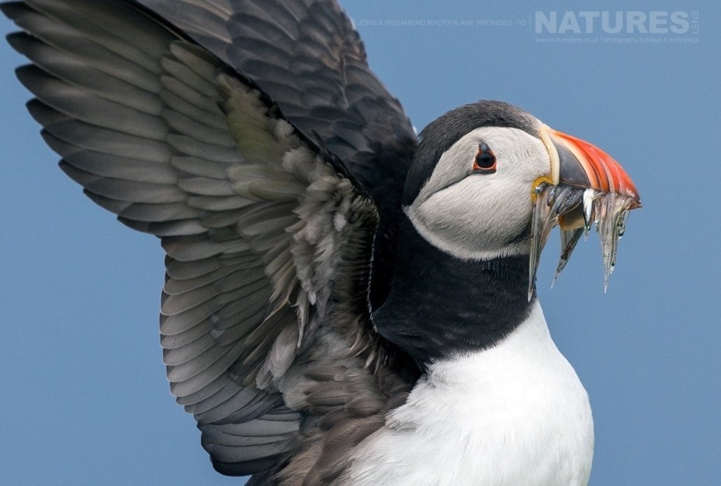 Just landed with a mouthful of sand eels, one of the Shetland Puffins photographed during the NaturesLens Puffins of Fair isle Photography Holiday