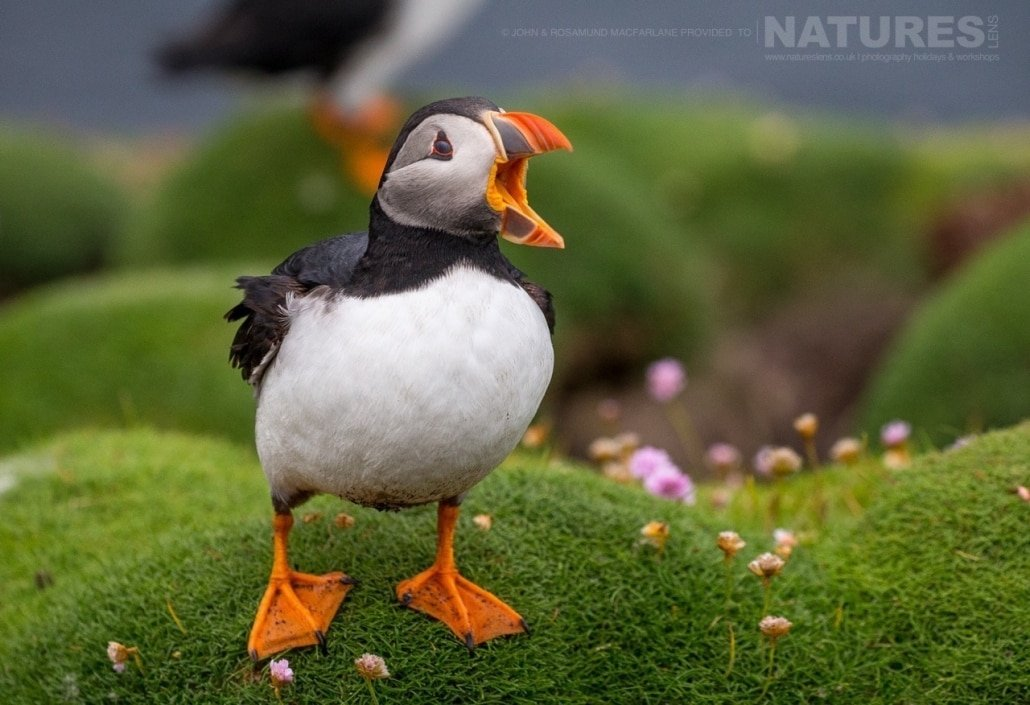 One of the Shetland Puffins photographed during the NaturesLens Puffins of Fair isle Photography Holiday