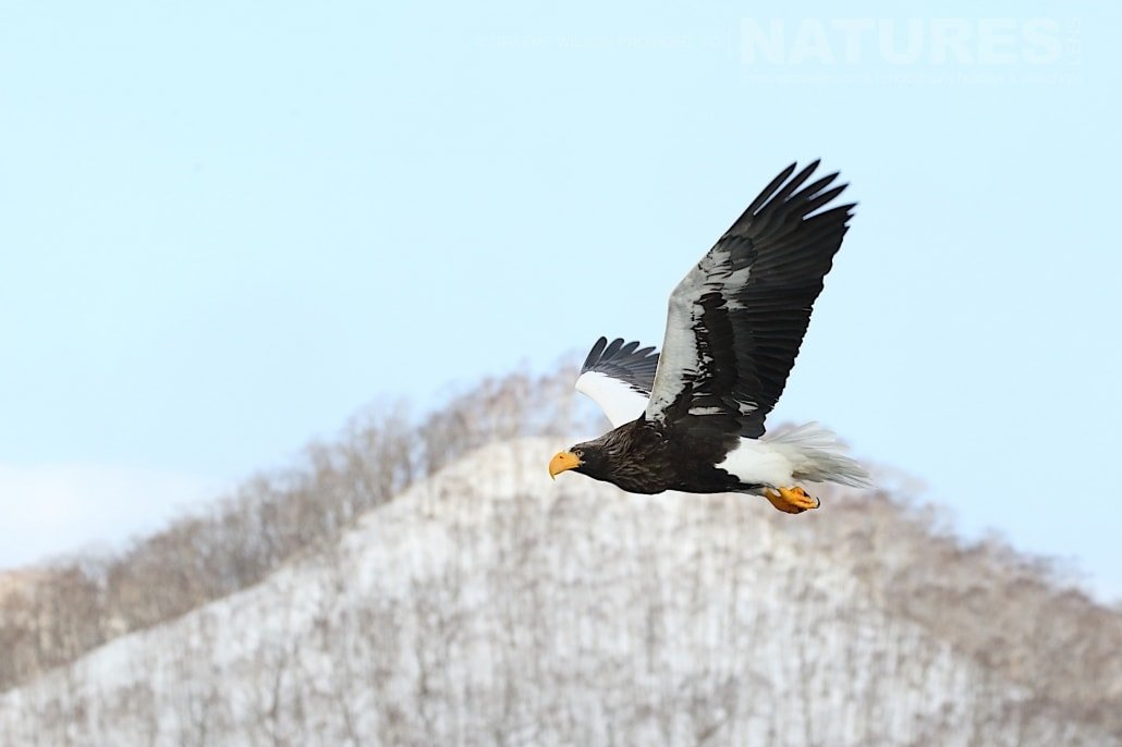 One of the Steller's Sea Eagles takes flight over the snowy landscape of Hokkaido photographed during the 2017 NaturesLens Japanese Winter Wildlife Photography Holiday