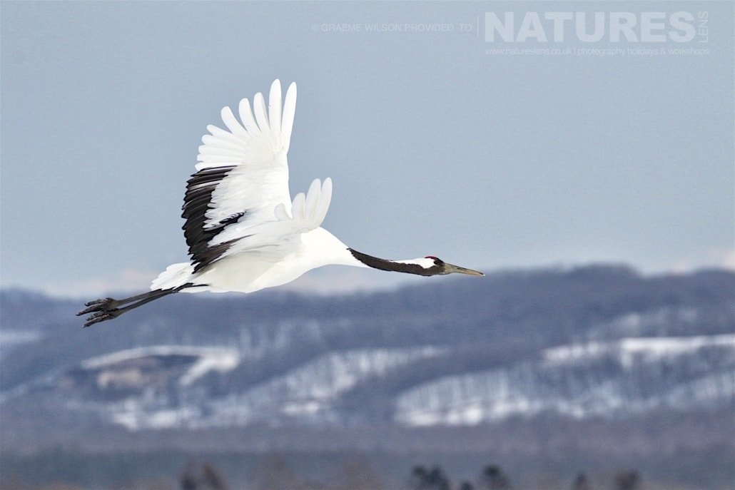 One of the red crowned cranes takes flight over the snowy landscape of Hokkaido photographed during the 2017 NaturesLens Japanese Winter Wildlife Photography Holiday