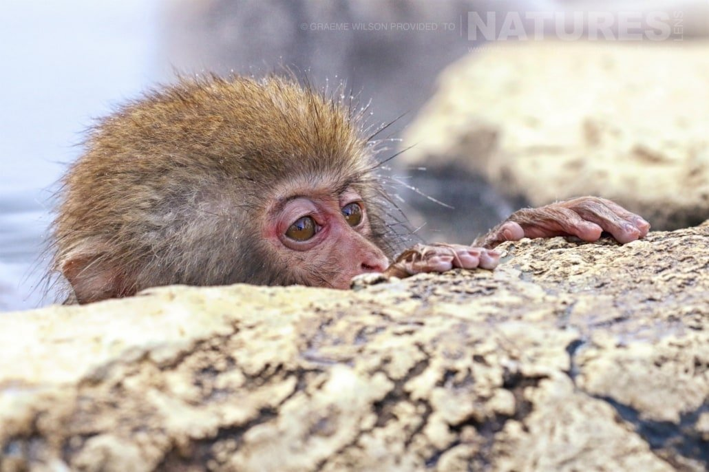One of the young snow monkeys peers over the edge of the thermal pool photographed during the 2017 NaturesLens Japanese Winter Wildlife Photography Holiday