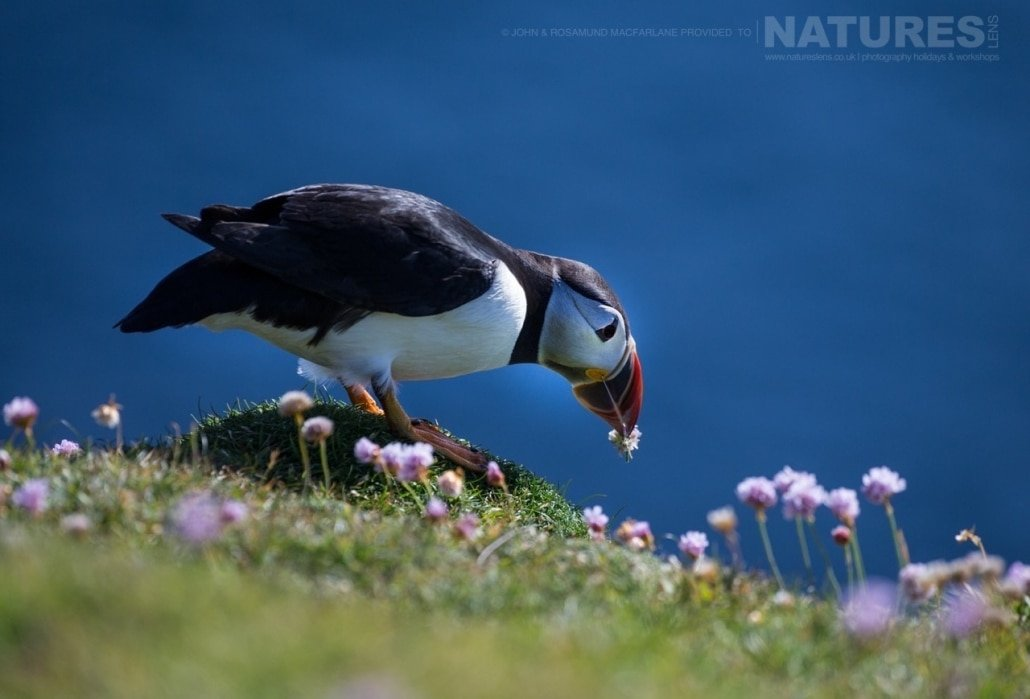 Picking the thrift, one of the Shetland Puffins photographed during the NaturesLens Puffins of Fair isle Photography Holiday
