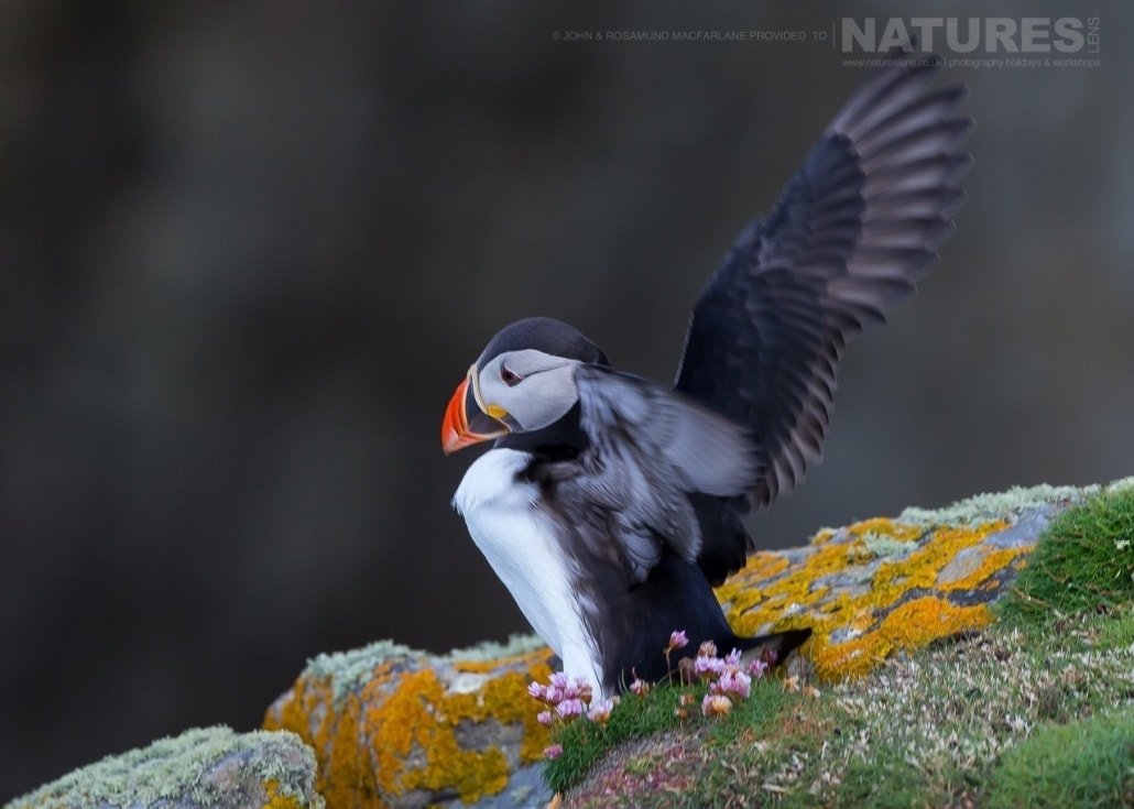 Ready for take off, one of the Shetland Puffins photographed during the NaturesLens Puffins of Fair isle Photography Holiday