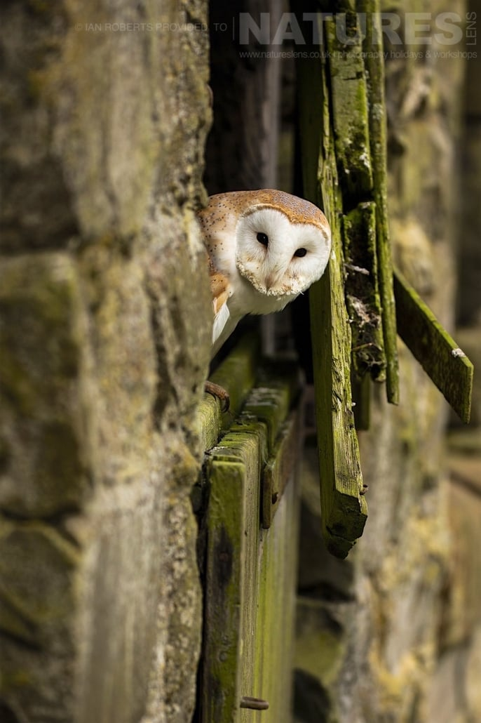 The Barn Owl peeks out whilst posed on a dilapidated barn door photographed during a Nature Photography Workshop conducted by Natureslens during Spring 2017