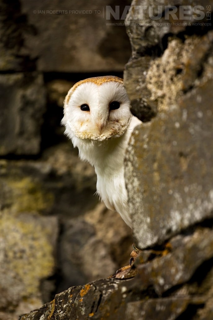 The Barn Owl peers out from a stone barn window photographed during a Nature Photography Workshop conducted by Natureslens during Spring 2017
