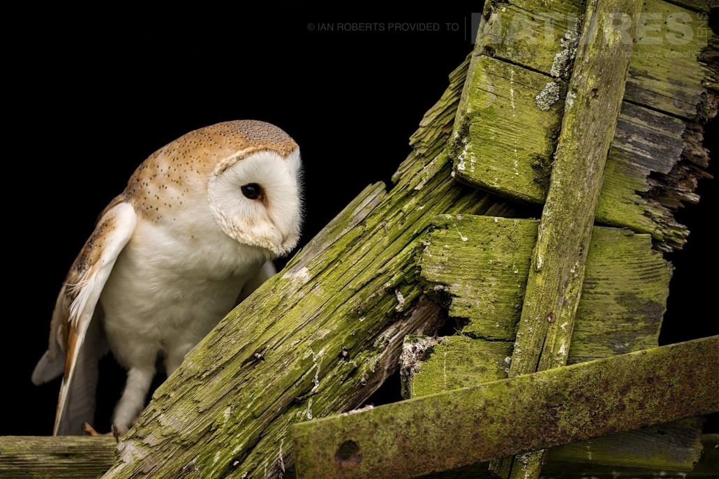 The Barn Owl poses on a dilapidated barn door photographed during a Nature Photography Workshop conducted by Natureslens during Spring 2017
