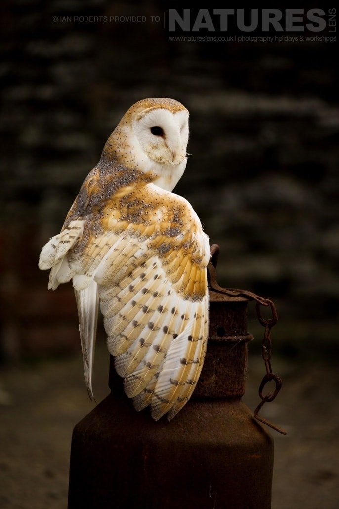 The Barn Owl poses on a rusted milk churn photographed during a Nature Photography Workshop conducted by Natureslens during Spring 2017