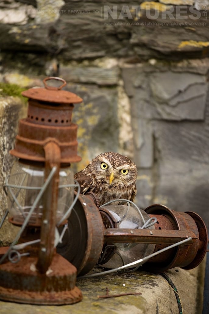 The Little Owl poses amongst some vintage storm lanterns photographed during a Nature Photography Workshop conducted by Natureslens during Spring 2017
