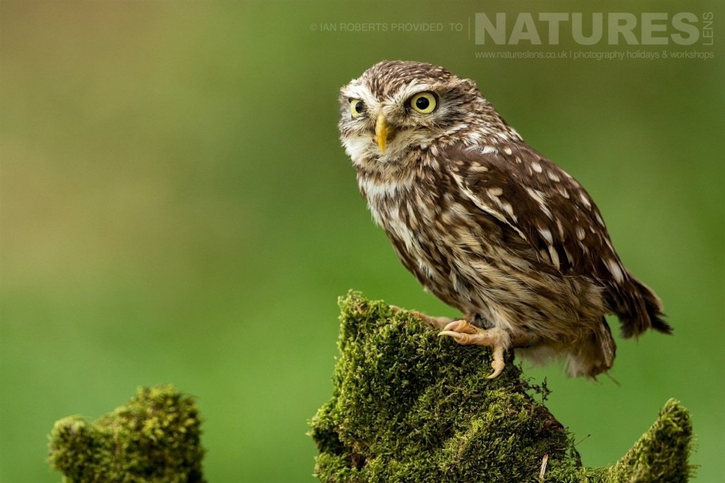 The Little Owl poses on a mossy stump in the woodland photographed during a Nature Photography Workshop conducted by Natureslens during Spring 2017