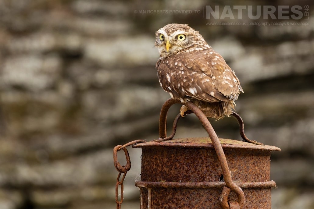The Little Owl poses on a rusted milk churn in the farm yard photographed during a Nature Photography Workshop conducted by Natureslens during Spring 2017