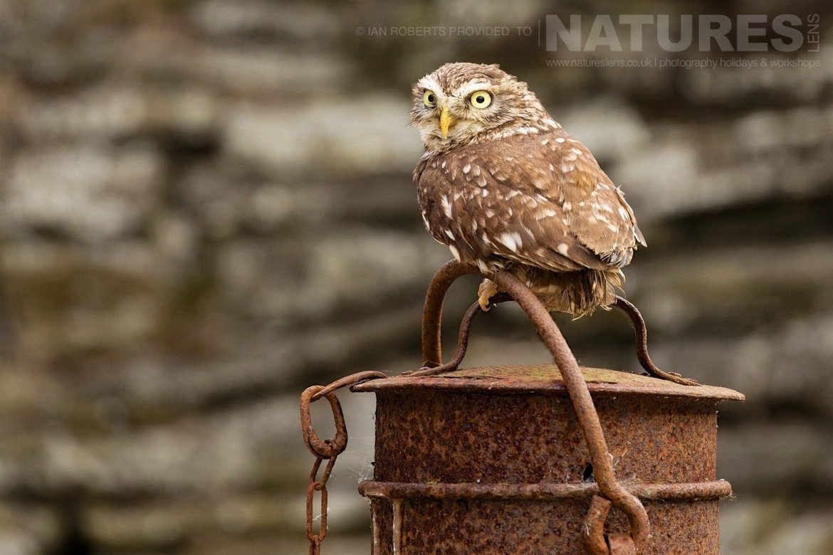 The Little Owl poses on a rusted milk churn in the farm yard photographed during the Natureslens Spring 2017 Birds of Prey Photography Workshop