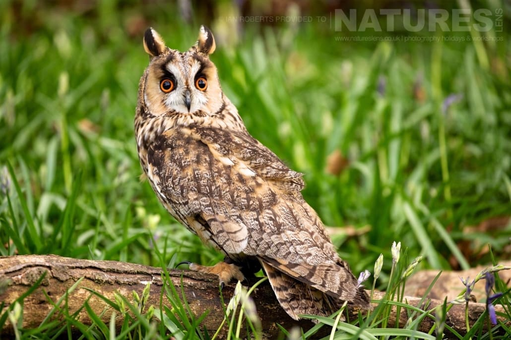 The Long Eared Owl poses in woodland photographed during a Nature Photography Workshop conducted by Natureslens during Spring 2017