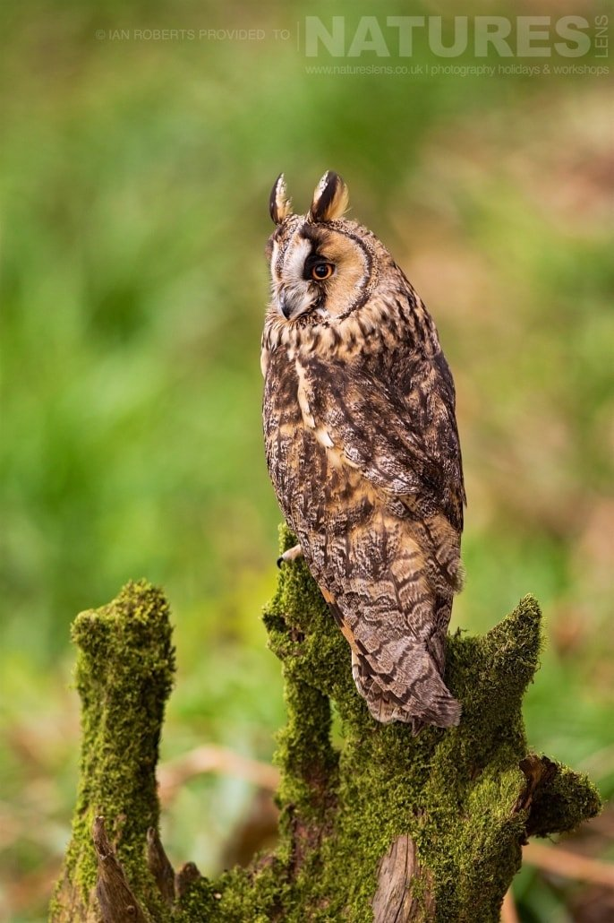 The Long Eared Owl poses on a mossy stump in the woodland photographed during a Nature Photography Workshop conducted by Natureslens during Spring 2017