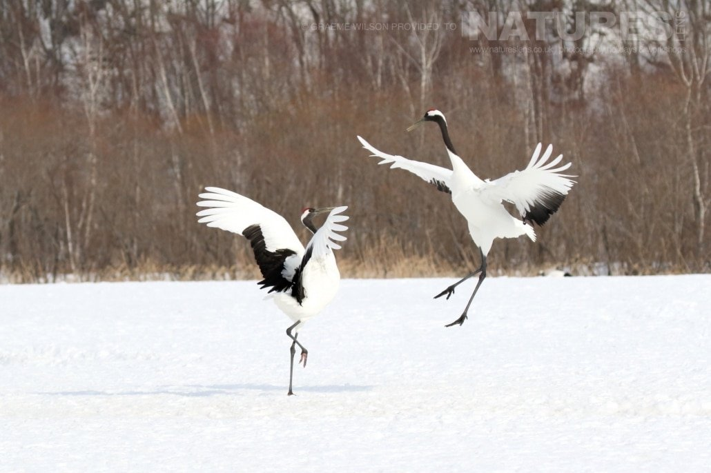 The courtship dance of the red crowned cranes the national bird of Hokkaido photographed during the 2017 NaturesLens Japanese Winter Wildlife Photography Holiday