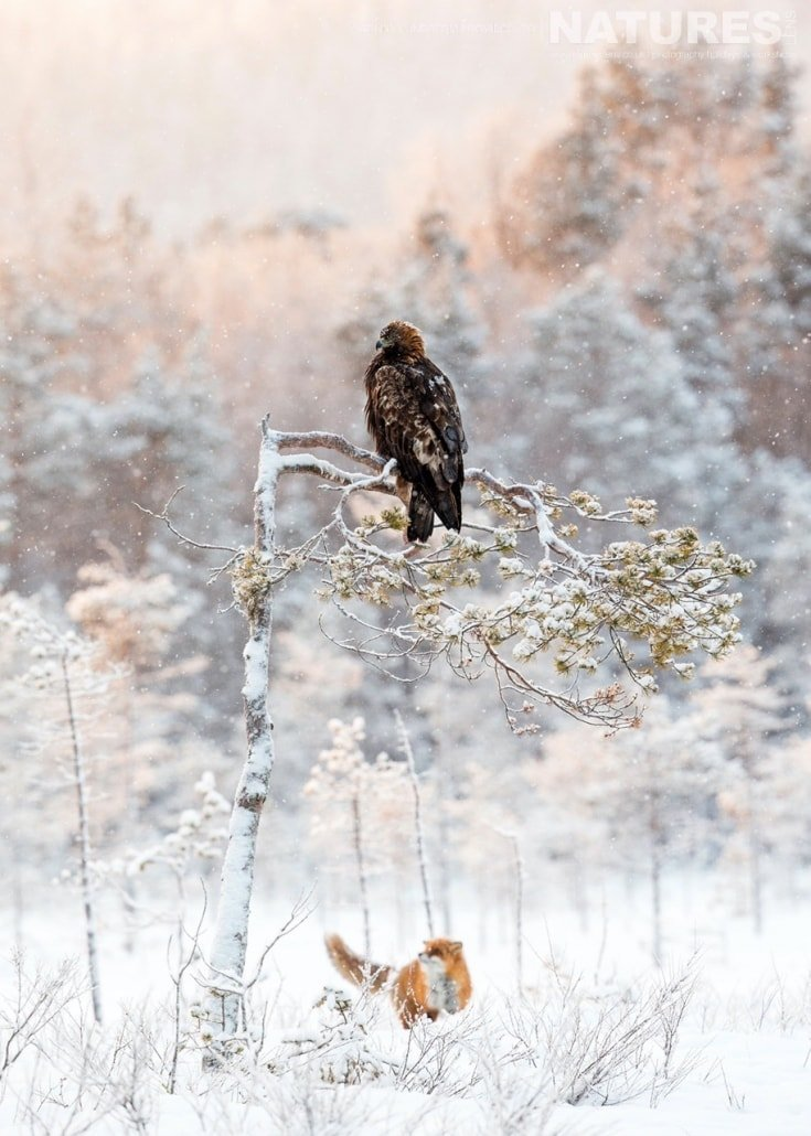 A Golden Eagle & Red Fox encounter in the snow typical of the kind of image that may be captured on the NaturesLens Golden Eagles of Swedish Winter Photography Holiday