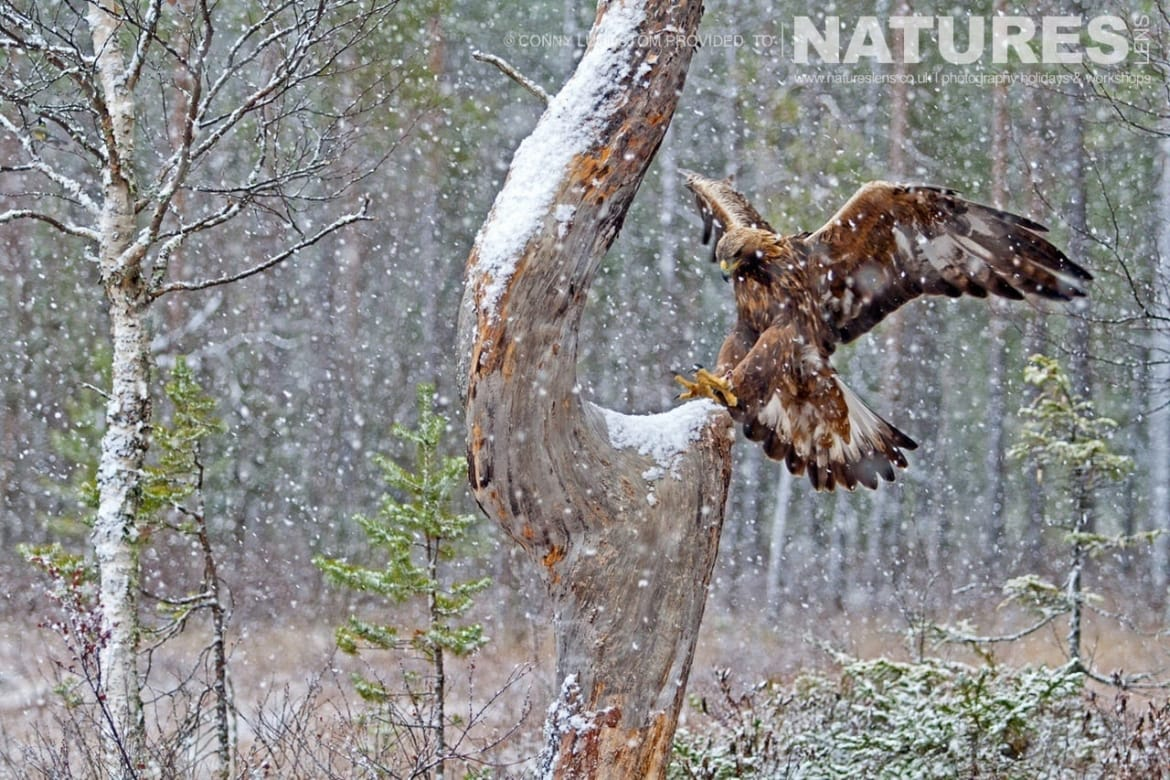 A Golden Eagle landing on a snow clad tree typical of the kind of image that may be captured on the NaturesLens Golden Eagles of Swedish Winter Photography Holiday
