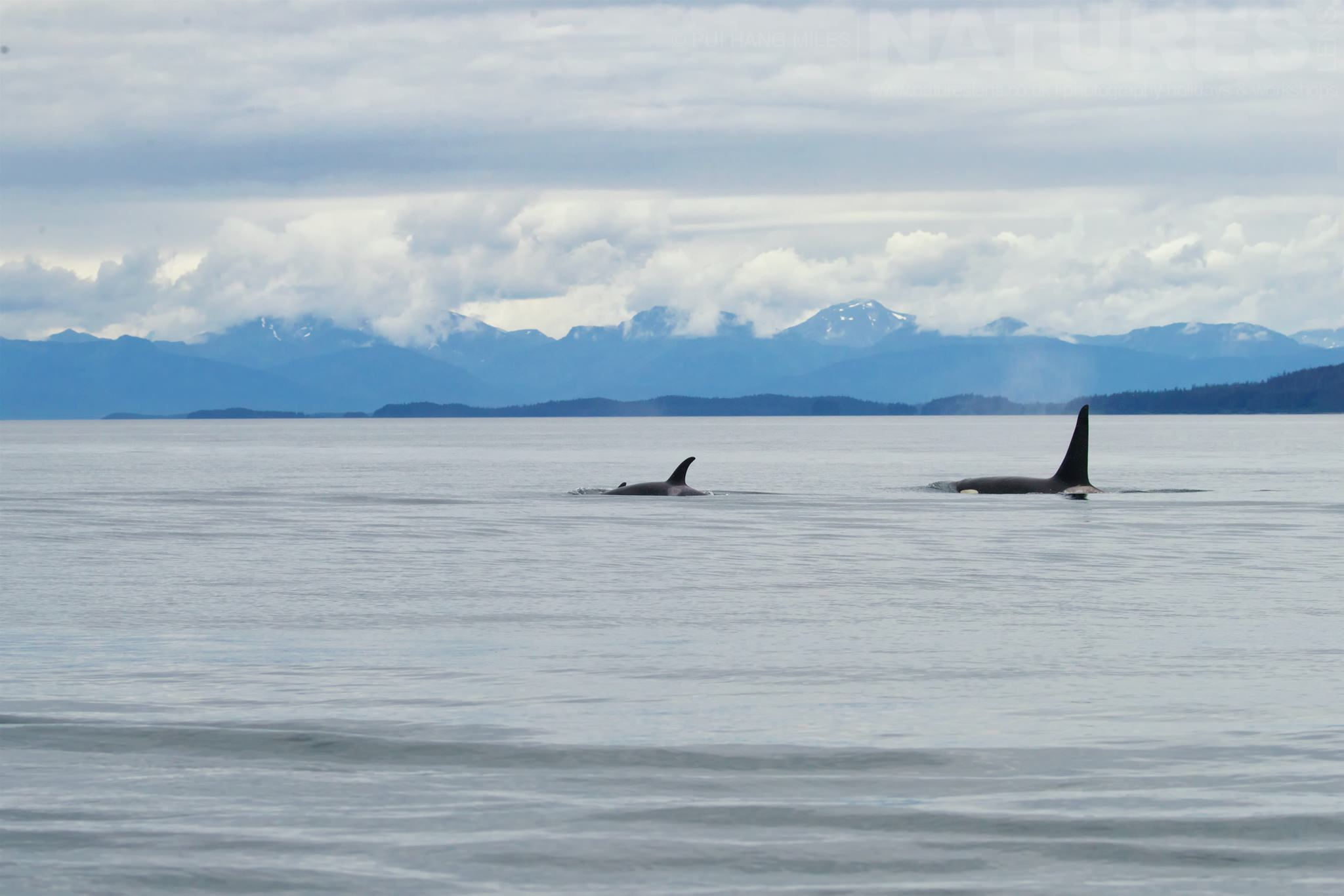 Orcas Playing In The Sea   Photographed During A NaturesLens Wildlife Of Alaska Photography Holiday
