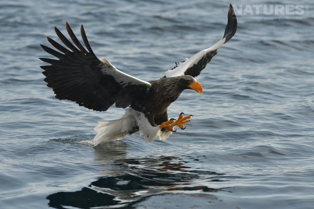 A Steller's Sea Eagle attempts to grab a fish from the Rausu seas this image was captured on the Island of Hokkaido during the NaturesLens Winter Wildlife of Japan Photography Holiday