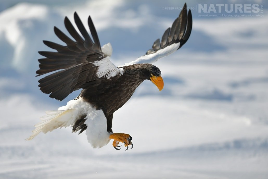 A Steller's Sea Eagle flies over the frozen pack ice this image was captured on the Island of Hokkaido during the NaturesLens Winter Wildlife of Japan Photography Holiday