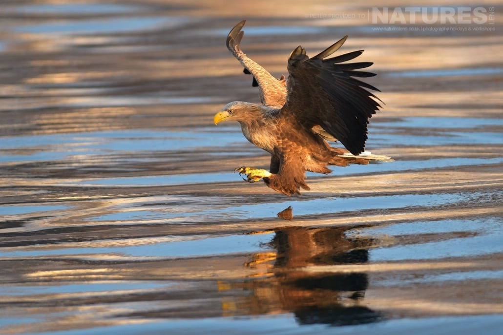A White Tailed Sea Eagle attempts to grab a fish from the Rausu seas this image was captured on the Island of Hokkaido during the NaturesLens Winter Wildlife of Japan Photography Holiday