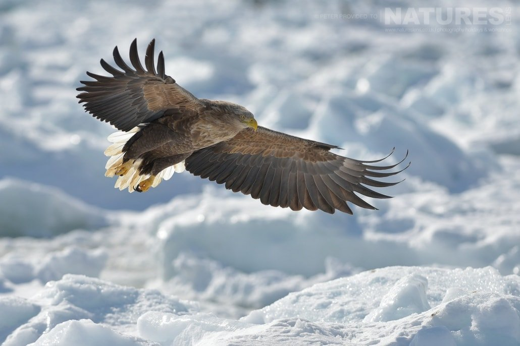 A White Tailed Sea Eagle flies over the frozen pack ice this image was captured on the Island of Hokkaido during the NaturesLens Winter Wildlife of Japan Photography Holiday