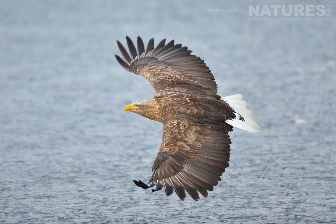 A White Tailed Sea Eagle flies over the frozen seas outside Rausu this image was captured on the Island of Hokkaido during the NaturesLens Winter Wildlife of Japan Photography Holiday