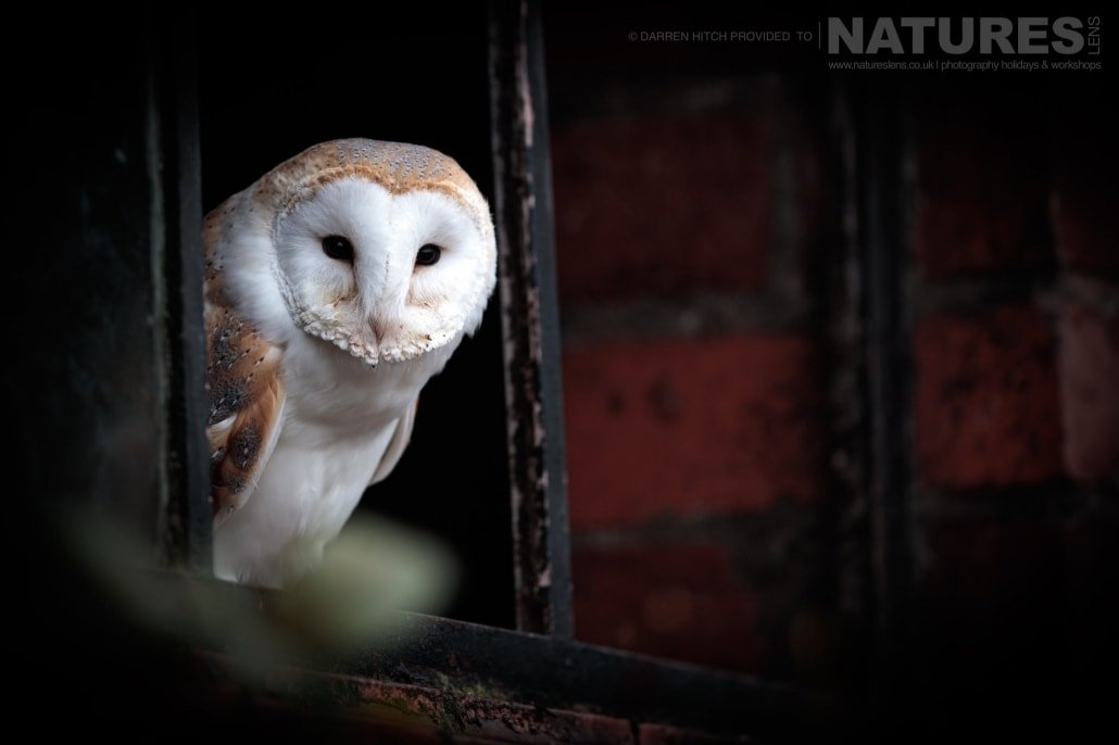 A barn owl peers from a barn window, photographed on the NaturesLens Autumn Birds of Prey Workshop