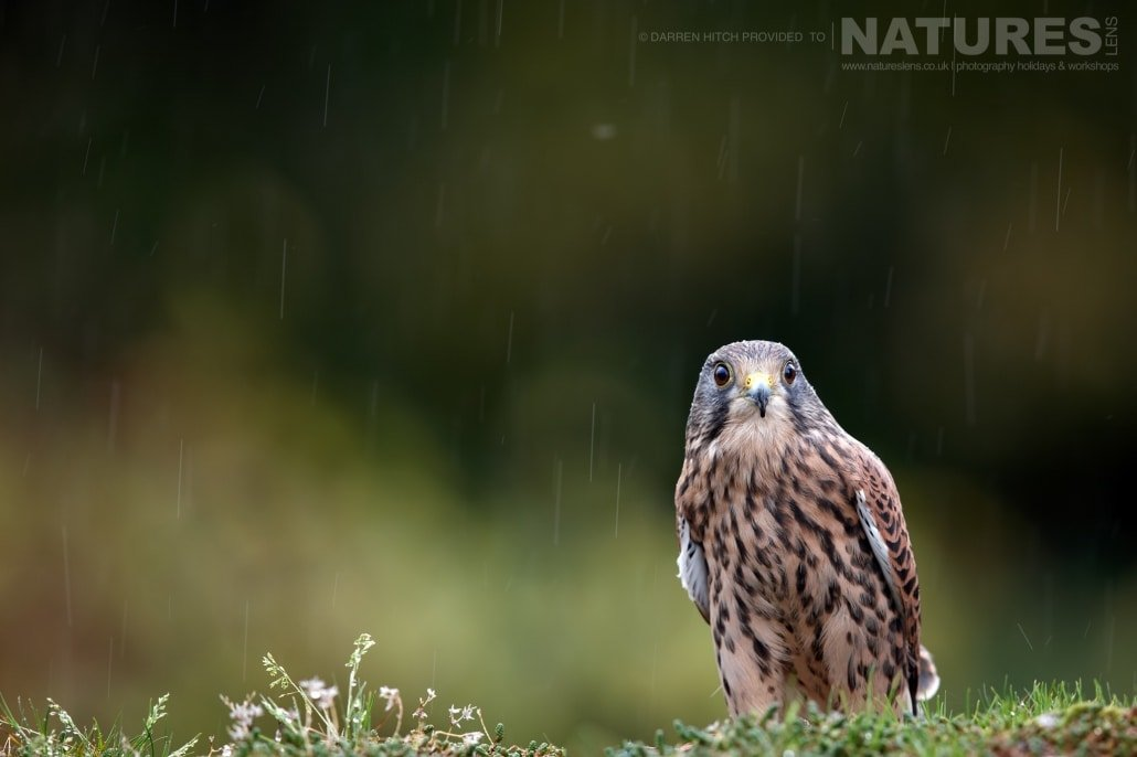 A kestrel perched in the rain, photographed on the NaturesLens Autumn Birds of Prey Workshop